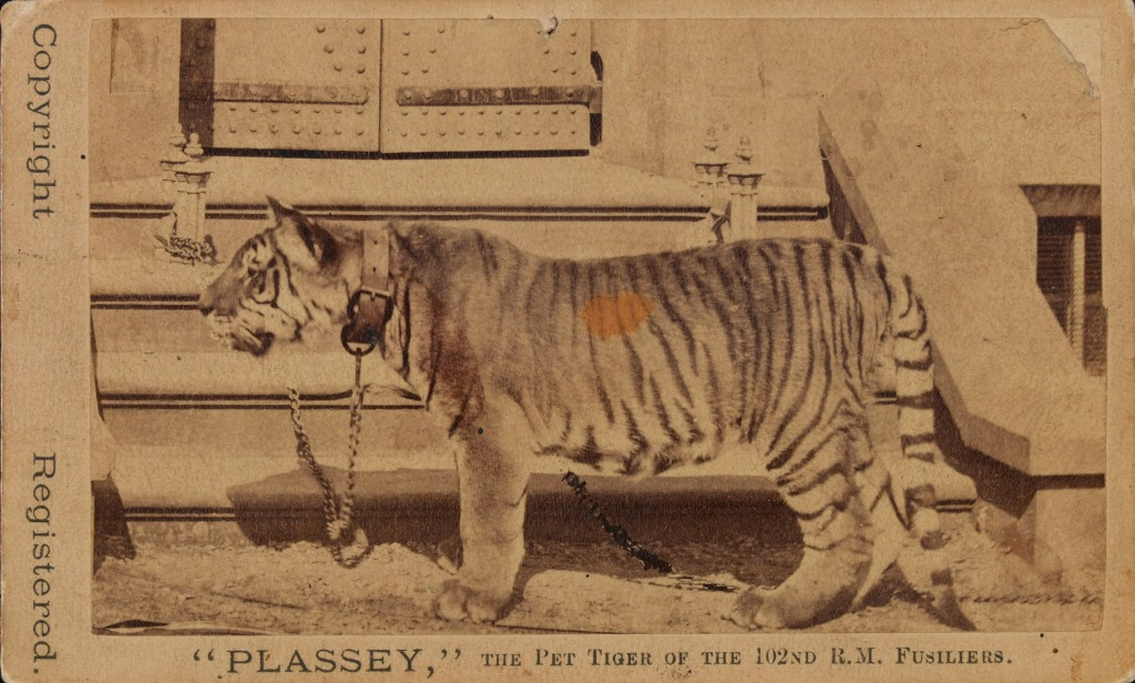 Photo of Plassey the tiger